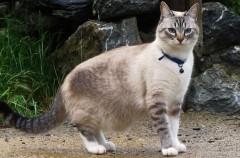 Volvemos a decirlo: los cascabeles para gatos son malos