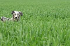 Hierba ¿es peligroso que los perros la coman?