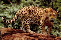 El muro de Trump en México podría extinguir al jaguar