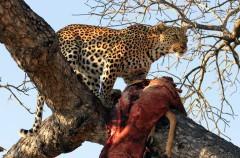 ¿Por qué los leopardos suben sus presas a los árboles?
