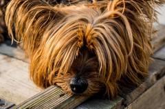 Moquillo canino, todo lo que debes saber