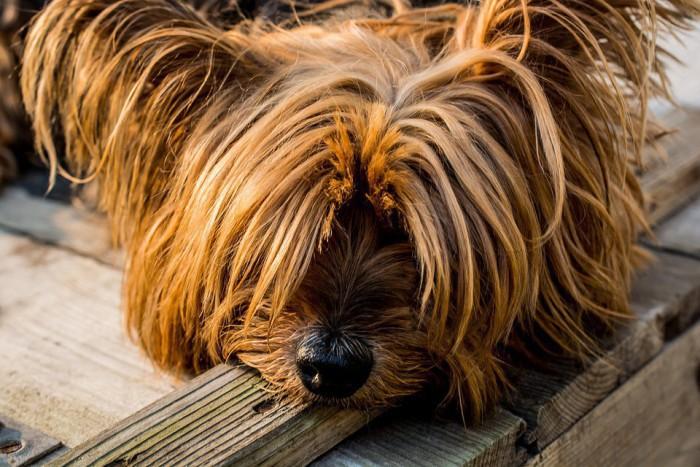 Una enfermedad letal para los perros