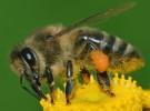 Los pesticidas son los causantes de la desaparición de las abejas
