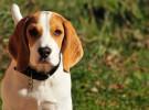 Todo lo que debes saber sobre la raza Beagle