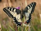 Las mariposas españolas simplifican sus nombres
