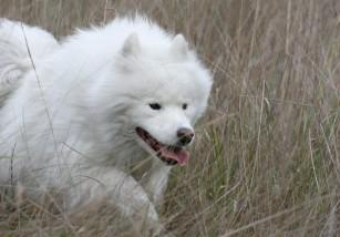 Samoyedo, quizá la raza de perro más antigua