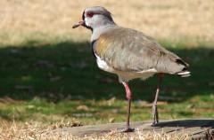 Tero, un pájaro muy patilargo