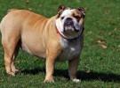 Bulldog Inglés, la raza de perro más perezosa