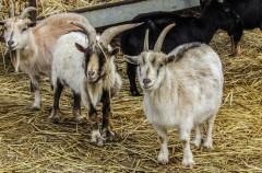 Nueva moda: las cabras se convierten en mascotas