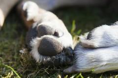 Un vistazo a la sudoración de los perros… Usando las patas