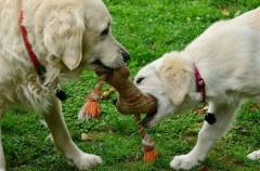 Torsión de estómago en perros: una enfermedad habitual