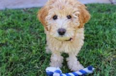 Cómo enseñarle al perro a devolver un juguete