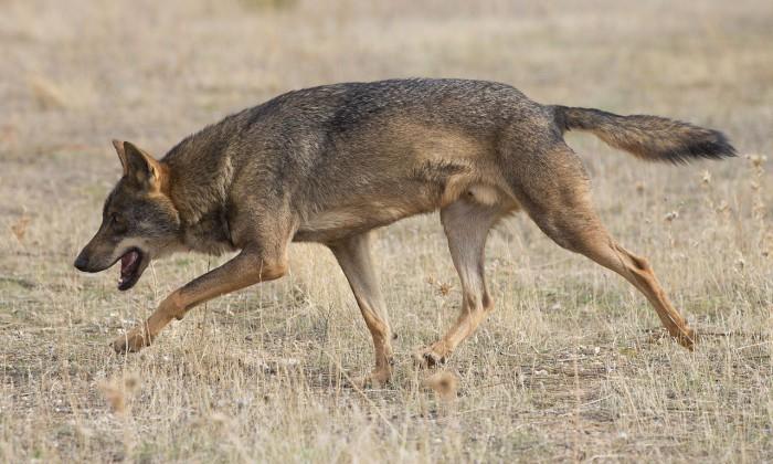 Exterminio del lobo en Asturias: WWF pide su cese