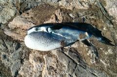 Un nuevo pez globo venenoso llega a las costas de Canarias