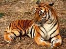 El próximo Día Mundial de la Vida Silvestre tiene como protagonistas a los grandes felinos