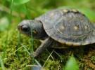Así se puede saber la edad de una tortuga