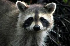 Las especies invasoras irrumpen en los Parques Nacionales