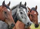 Los caballos saben nuestras emociones