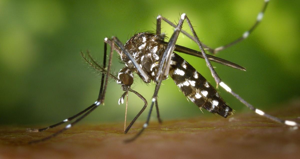 Cuidado con el mosquito tigre: así transmite enfermedades mortales