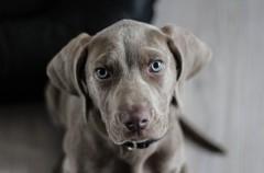 Criptorquidia, una enfermedad desconocida de los perros