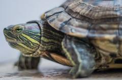 La mejor alimentación para una tortuga doméstica