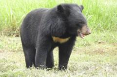 Investigadores demuestran que el yeti es un oso