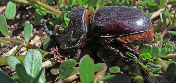 Escarabajo rinoceronte, uno de los animales más fuertes del mundo