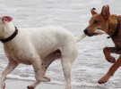 Leptospirosis, una enfermedad para perros letal