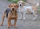 Cómo tratar la insuficiencia cardíaca en perros