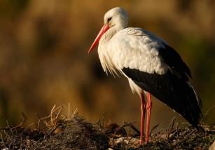 La singular historia de la cigüeña que demostró la migración de las aves