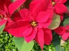 Flor de Pascua, la planta tropical que triunfa en navidad
