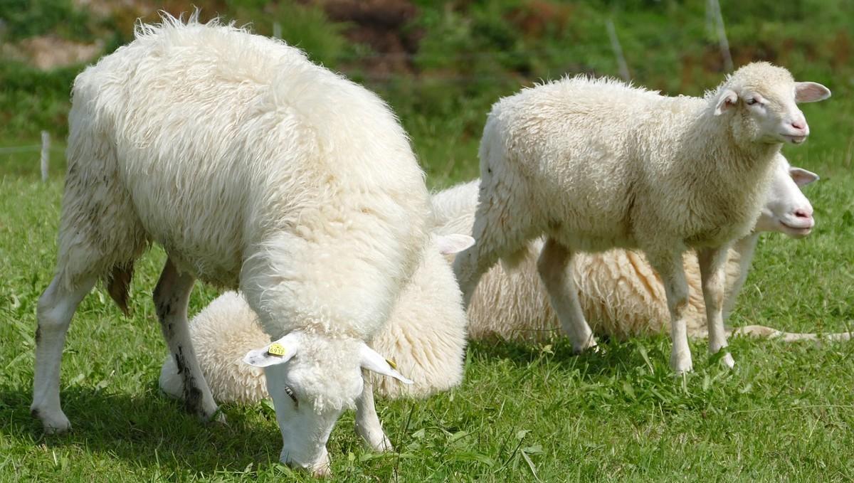 ¿Cómo se realiza el esquilado de las ovejas?