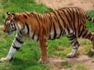 El tigre siberiano sigue en peligro de extinción