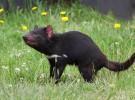 Diablo de Tasmania: otro mamífero diezmado por los atropellos