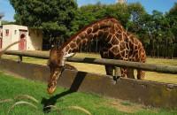 La altura de las jirafas