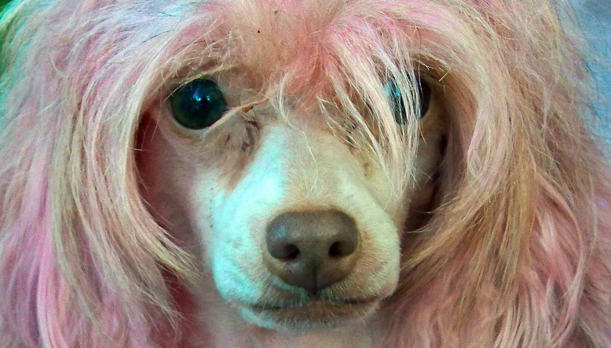 Confirmado: Teñir el pelo de las mascotas es peligroso