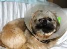 Después de una operación, estos son los mejores cuidados para vuestro perro