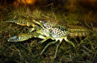 Procambarus virginalis, el cangrejo de río que se clona a sí mismo