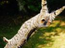 El síndrome del gato paracaidista, un problema peligroso