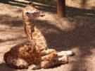Jirafas, los animales que menos duermen