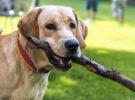 Cómo lavar los dientes a vuestro perro… Si no se deja