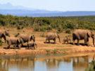 Crece el número de elefantes sin colmillos, ¿Por qué ocurre esto?
