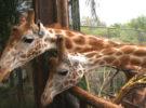 La jirafa April está embarazada de nuevo, y por qué es una buena noticia