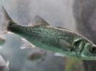 Por qué los peces se están quedando sin olfato