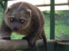 Así es el primer oso de Sulawesi cuscús que ha nacido en cautividad