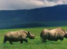 Varios rinocerontes negros mueren en su traslado