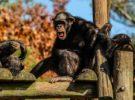 Así son los chimpancés curiosos del Triángulo Goualougo