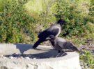 Estos cuervos limpian la basura del parque temático Puy du Fou