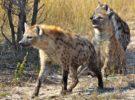 Hienas, ausentes en Europa debido al Cambio Climático y los Seres Humanos