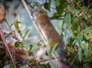 La rata de bambú, otra especie animal que se vuelve a ver